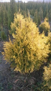 Фотография 2 продукта Туя западная Санкист / Thuja occidentalis Sunkist
