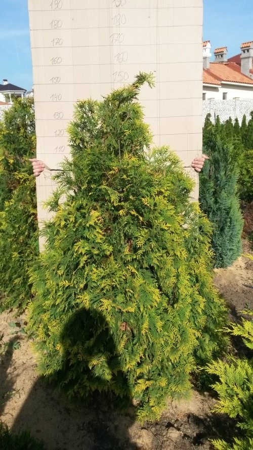 Фотография 3 продукта Туя западная Санкист / Thuja occidentalis Sunkist