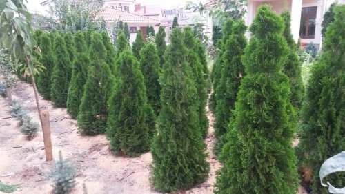 Фотография 1 продукта Туя западная Смарагд / Thuja occidentalis Smaragd