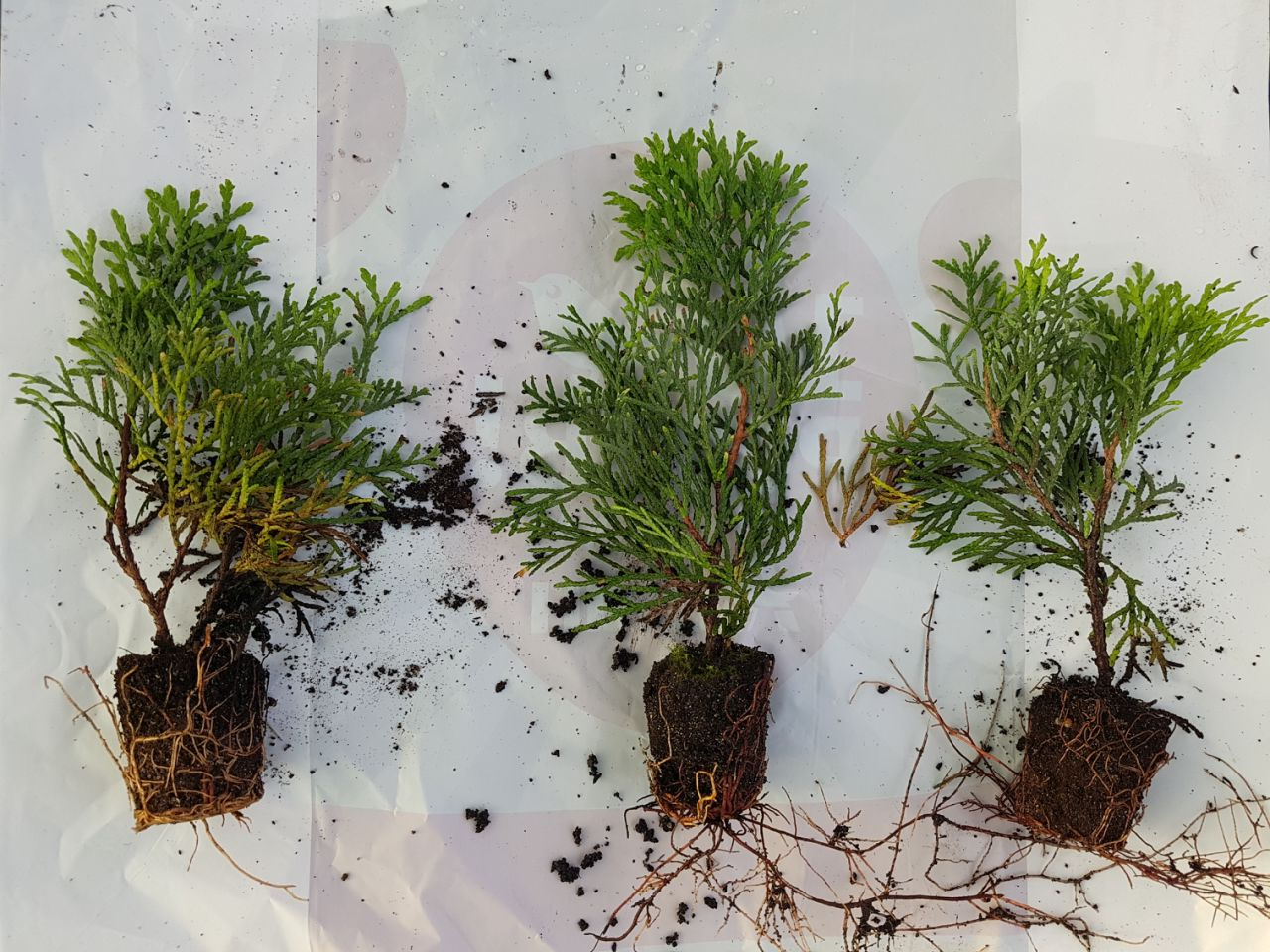 Фотография 4 продукта Туя западная Смарагд / Thuja occidentalis Smaragd