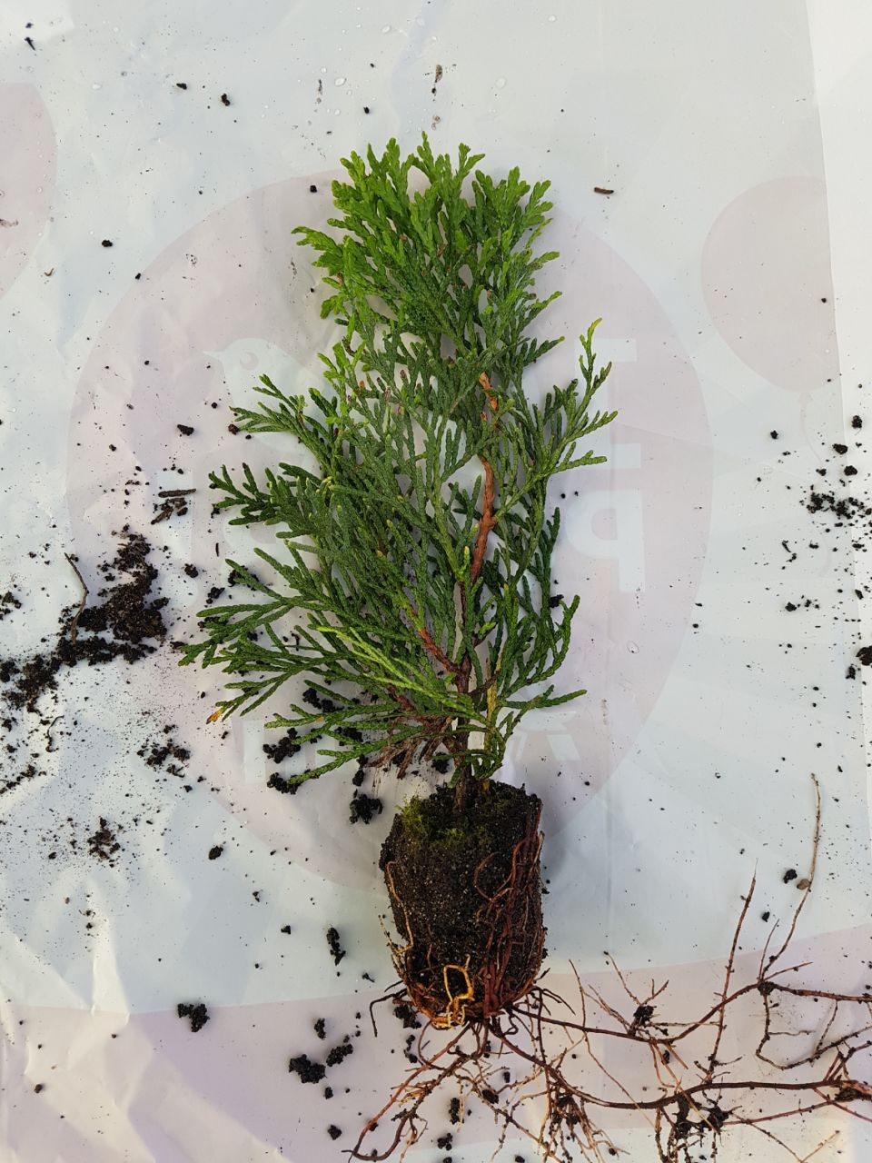 Фотография 5 продукта Туя западная Смарагд / Thuja occidentalis Smaragd