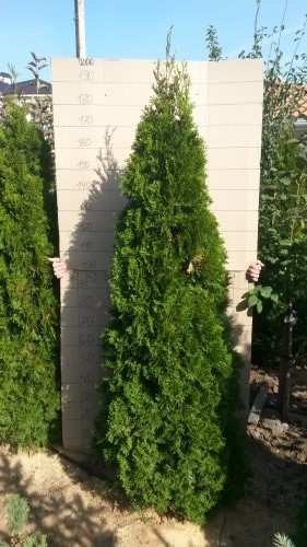 Фотография 6 продукта Туя западная Смарагд / Thuja occidentalis Smaragd