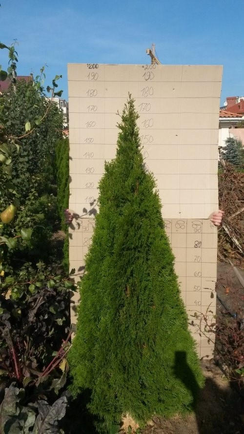 Фотография 8 продукта Туя западная Смарагд / Thuja occidentalis Smaragd