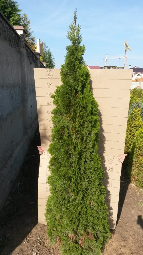 Фотография 9 продукта Туя западная Смарагд / Thuja occidentalis Smaragd
