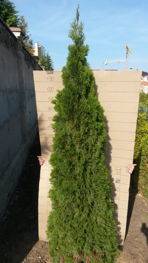 Фотография 10 продукта Туя западная Смарагд / Thuja occidentalis Smaragd