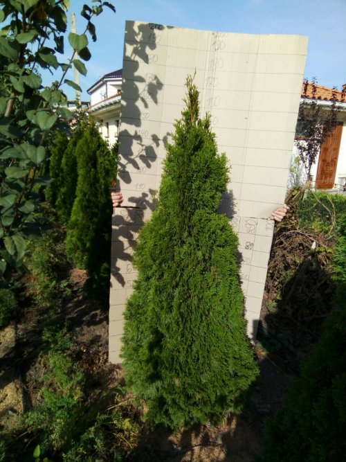 Фотография 12 продукта Туя западная Смарагд / Thuja occidentalis Smaragd