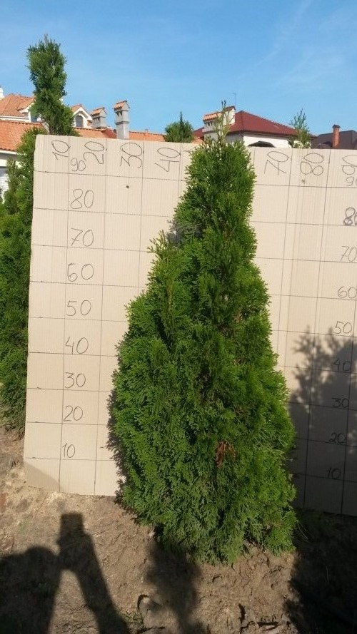Фотография 13 продукта Туя западная Смарагд / Thuja occidentalis Smaragd