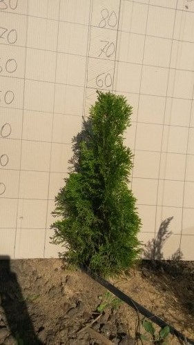 Фотография 14 продукта Туя западная Смарагд / Thuja occidentalis Smaragd