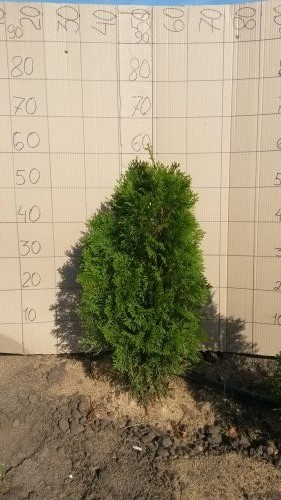 Фотография 16 продукта Туя западная Смарагд / Thuja occidentalis Smaragd
