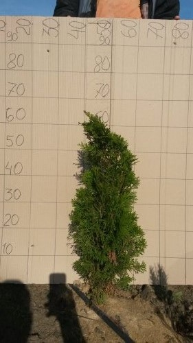 Фотография 17 продукта Туя западная Смарагд / Thuja occidentalis Smaragd
