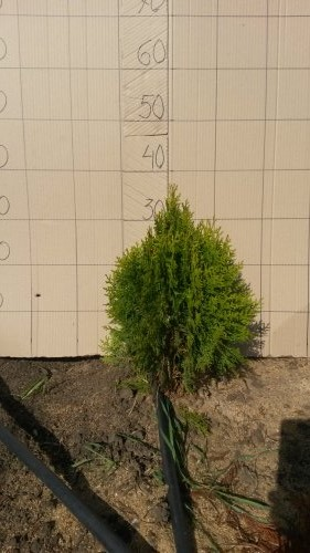 Фотография 20 продукта Туя западная Смарагд / Thuja occidentalis Smaragd