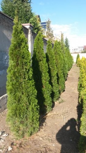 Фотография 22 продукта Туя западная Смарагд / Thuja occidentalis Smaragd