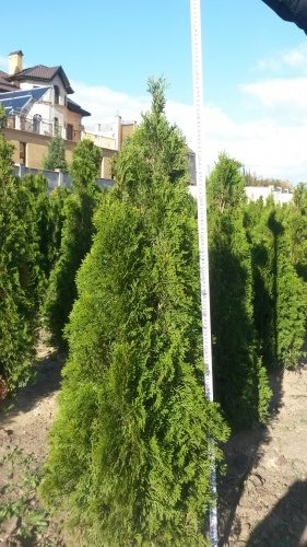 Фотография 24 продукта Туя западная Смарагд / Thuja occidentalis Smaragd