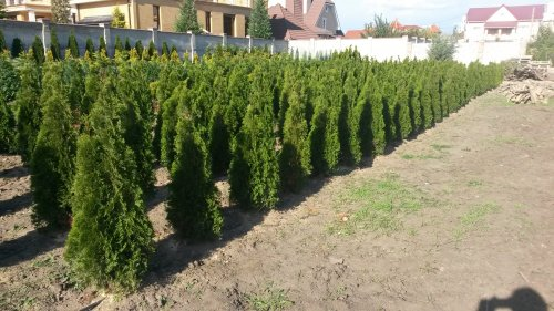Фотография 25 продукта Туя западная Смарагд / Thuja occidentalis Smaragd