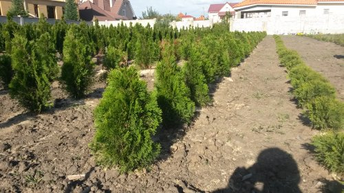 Фотография 26 продукта Туя западная Смарагд / Thuja occidentalis Smaragd