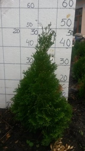 Фотография 32 продукта Туя западная Смарагд / Thuja occidentalis Smaragd