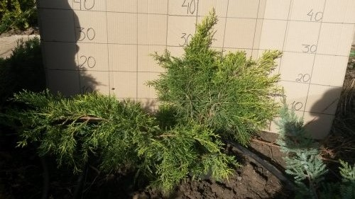 Ялівець Середній Golden Joy 30-50см/ Juniperus pfitzeriana Golden Joy