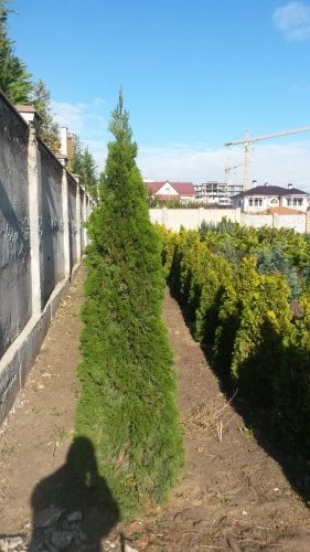 Фотография 1 продукта Туя западная Смарагд 200-220 см / Thuja occidentalis Smaragd