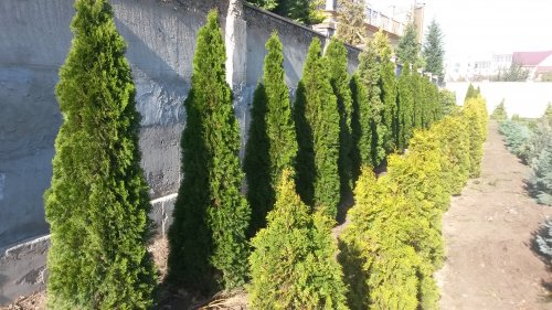 Фотография 3 продукта Туя западная Смарагд 200-220 см / Thuja occidentalis Smaragd